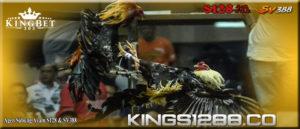 Sejarah Asal Usul Tradisi Sabung Ayam Di Indonesia